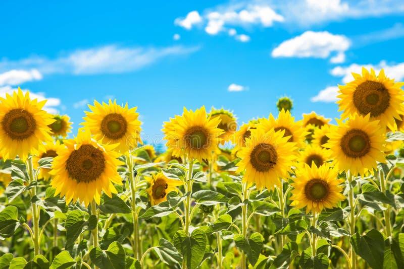 Campo de los girasoles de las flores y del cielo azul foto de archivo