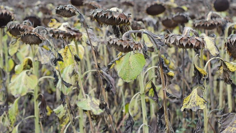 Campo de los girasoles madurados listos para cosechar para sus semillas fotografía de archivo