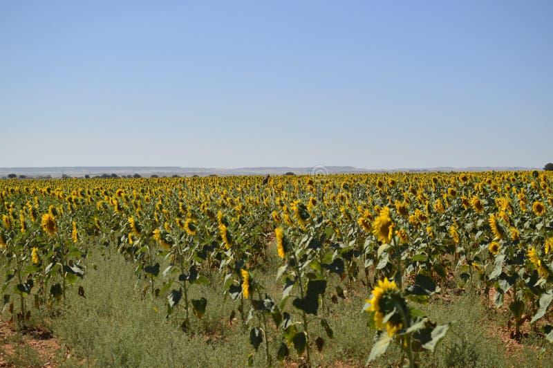 Campo de los girasoles que miran al tiro de la parte posterior de The Sun Naturaleza, plantas, ingredientes alimentarios, paisaje fotos de archivo