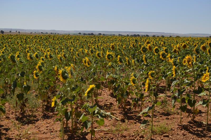 Campo de los girasoles que miran al tiro de la parte posterior de The Sun Naturaleza, plantas, ingredientes alimentarios, paisaje fotografía de archivo libre de regalías