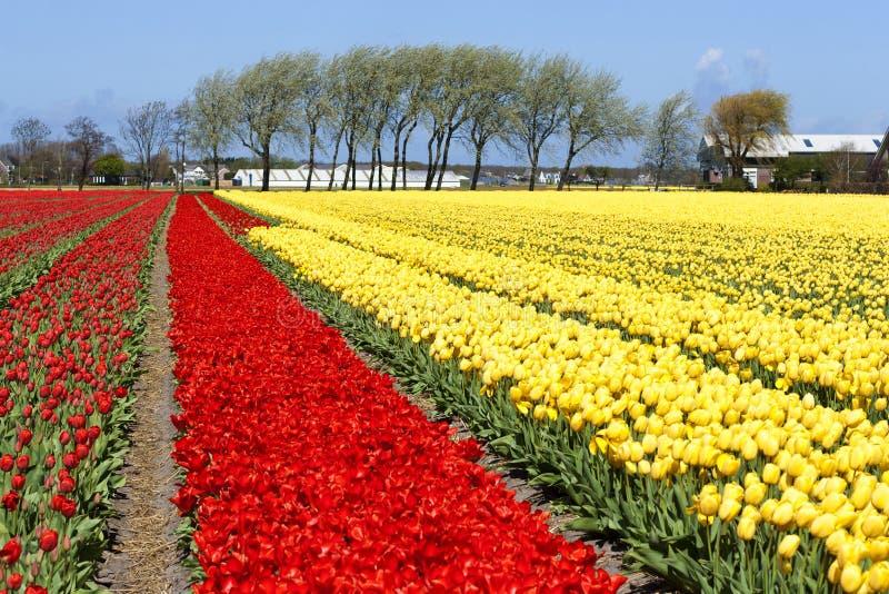 Campo de los tulipanes fotografía de archivo libre de regalías