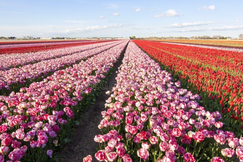 Campo de los tulipanes fotos de archivo