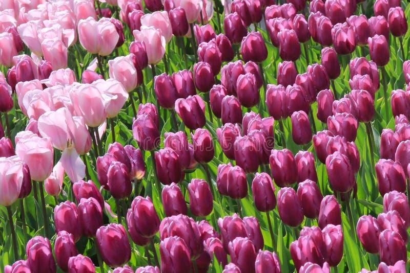 Campo de los tulipanes que tienen gotas de rocío en sus pétalos fotos de archivo