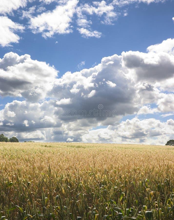 Campo de maíz 1 imagen de archivo libre de regalías