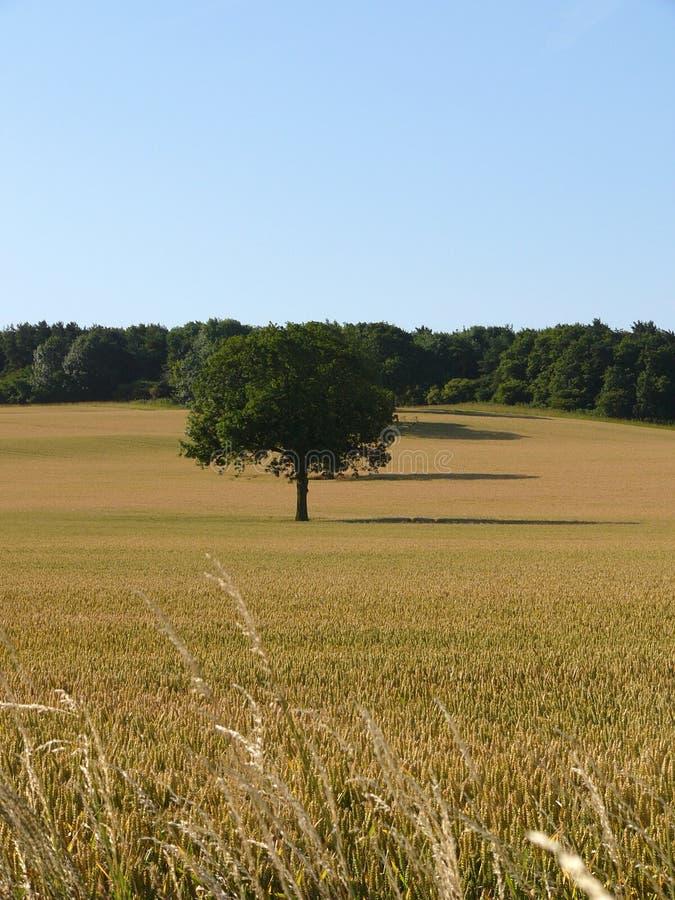 Download Campo de maíz imagen de archivo. Imagen de cosecha, azul - 175617
