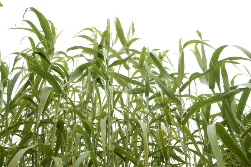 Campo de maíz 2 fotografía de archivo libre de regalías