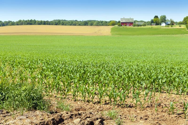 Campo de maíz americano fotos de archivo libres de regalías