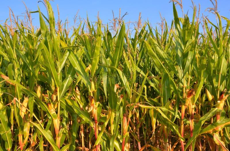 Campo de maíz asoleado fotos de archivo libres de regalías
