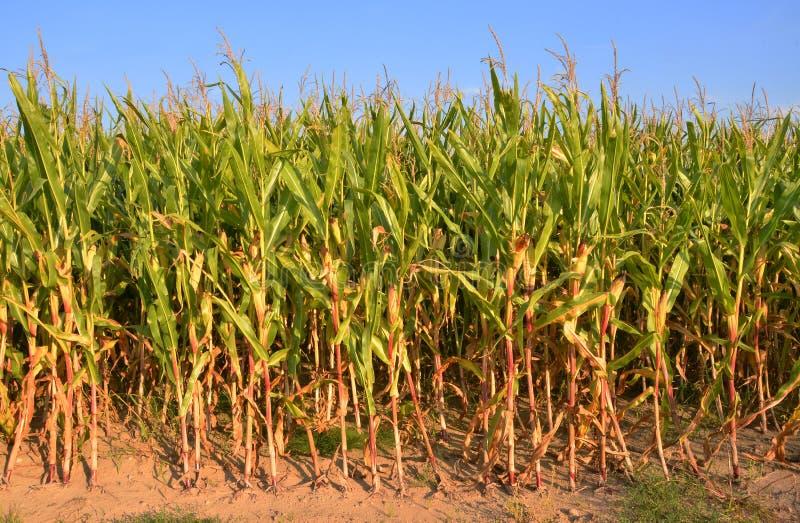 Campo de maíz asoleado foto de archivo libre de regalías