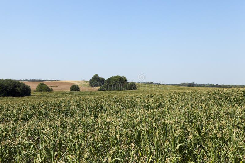 Campo de maíz, cielo azul foto de archivo libre de regalías