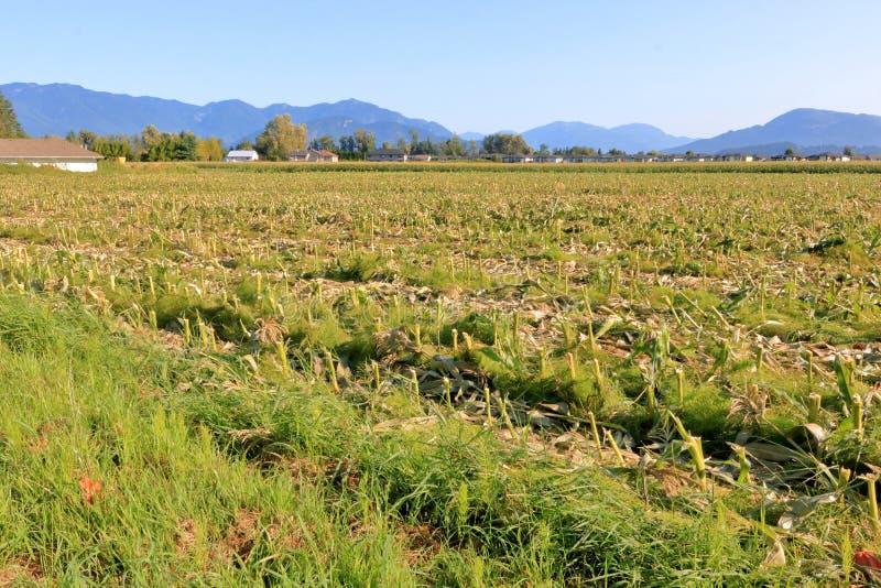 Campo de maíz cosechado para la alimentación y el estiércol vegetal foto de archivo libre de regalías