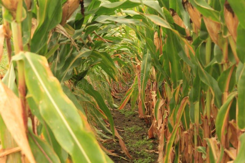 Campo de maíz de imagen de archivo libre de regalías