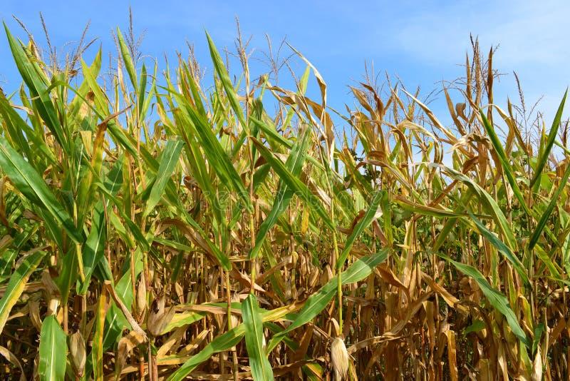 Campo de maíz de Illinois imagenes de archivo