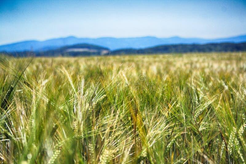 Campo de maíz de la primavera imagen de archivo libre de regalías