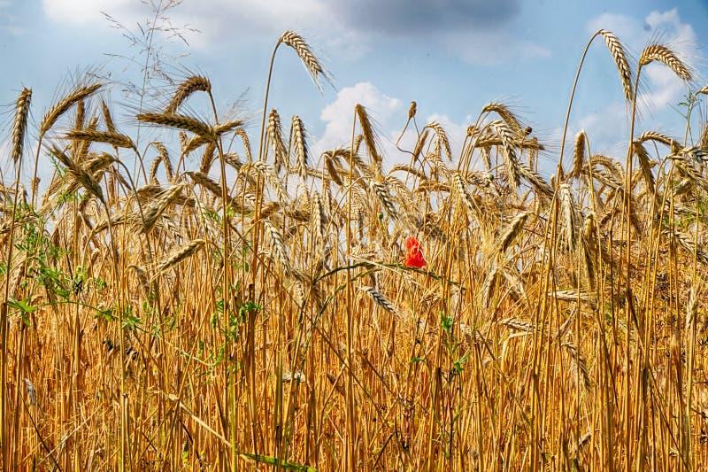 Campo de maíz de oro imagen de archivo libre de regalías
