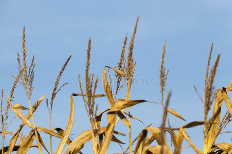 Campo de maíz del otoño imagenes de archivo