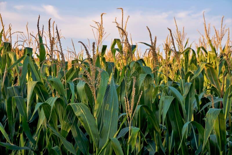 Campo de maíz delante del cielo azul y de las nubes fotos de archivo