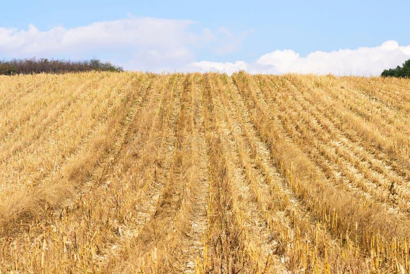 Campo de maíz después de la cosecha en otoño fotos de archivo libres de regalías