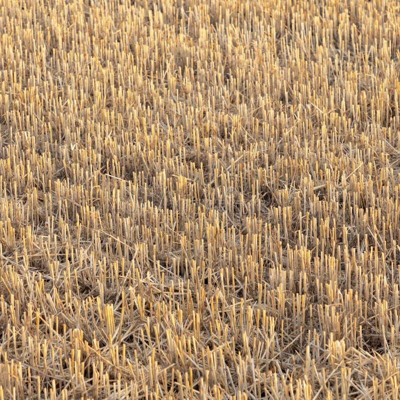 Campo de maíz después de la cosecha imagen de archivo