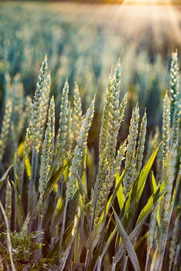 Campo de maíz detalladamente imagen de archivo