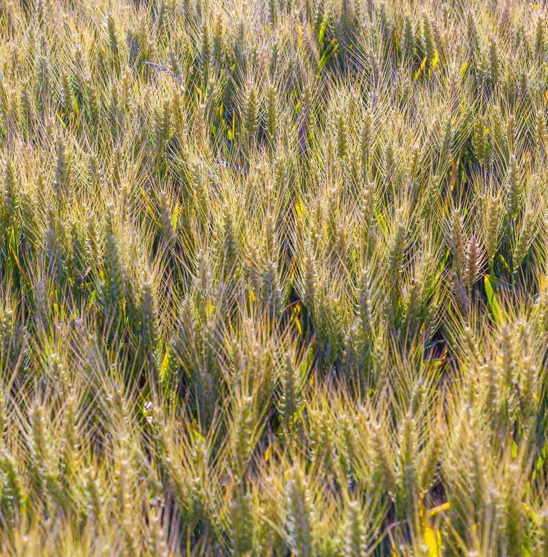Campo de maíz detalladamente fotografía de archivo libre de regalías