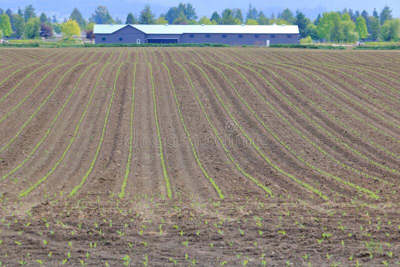 Campo de maíz en A.C. Fraser Valley Area de Canadá imagen de archivo libre de regalías