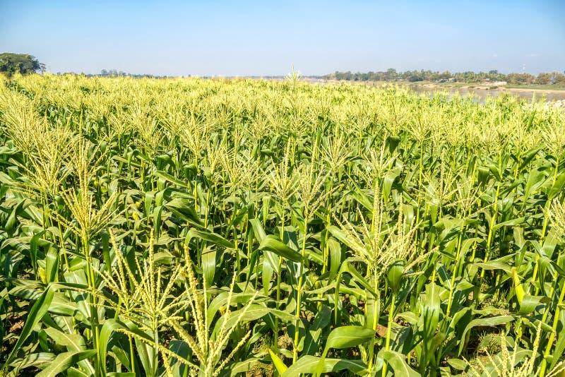 Campo de maíz en el cielo fotografía de archivo libre de regalías