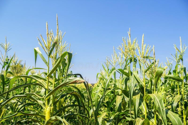 Campo de maíz en el cielo imagen de archivo