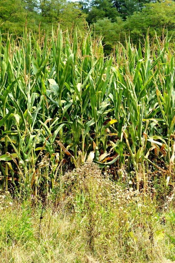 Campo de maíz en el tiempo de cosecha Paisaje rural típico en los llanos de Transilvania, Rumania foto de archivo