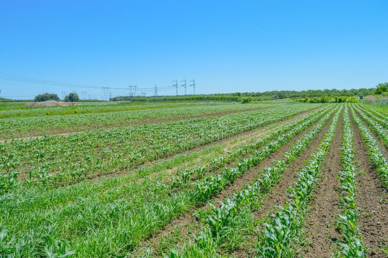Campo de maíz en Quebec fotografía de archivo