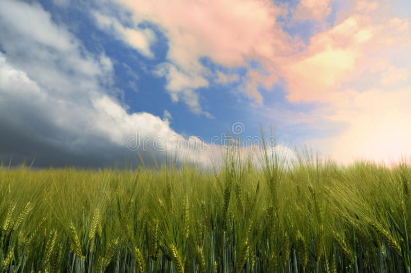Campo de maíz en una puesta del sol imágenes de archivo libres de regalías
