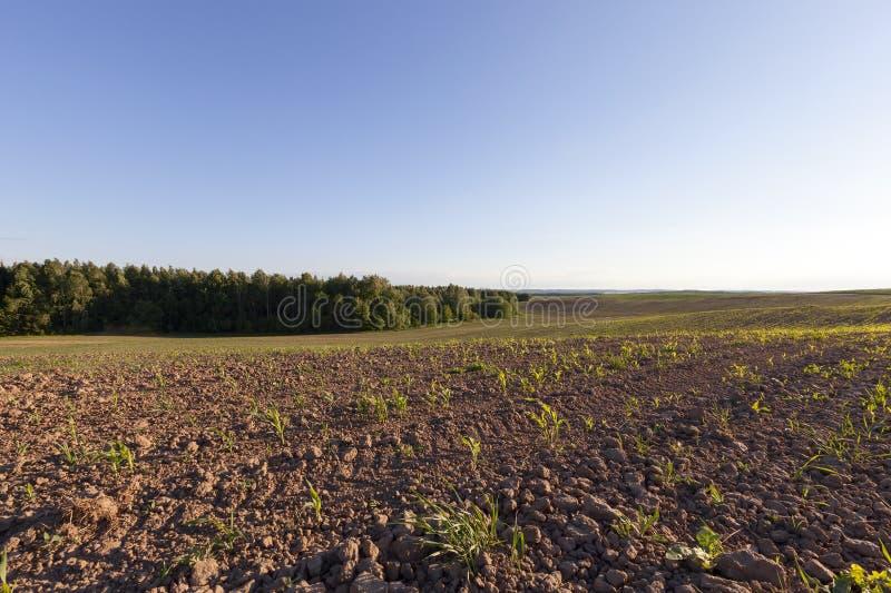 Campo de maíz de Europa fotografía de archivo libre de regalías