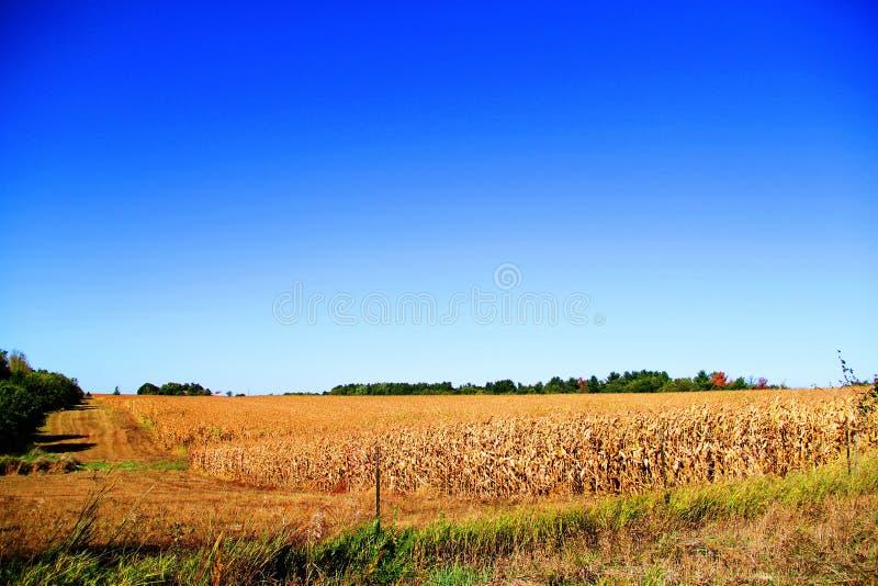 Campo de maíz listo para la cosecha imagenes de archivo