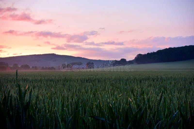 Campo de maíz nebuloso en la puesta del sol imagenes de archivo