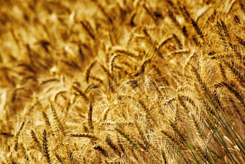 Campo de maíz de oro fotografía de archivo