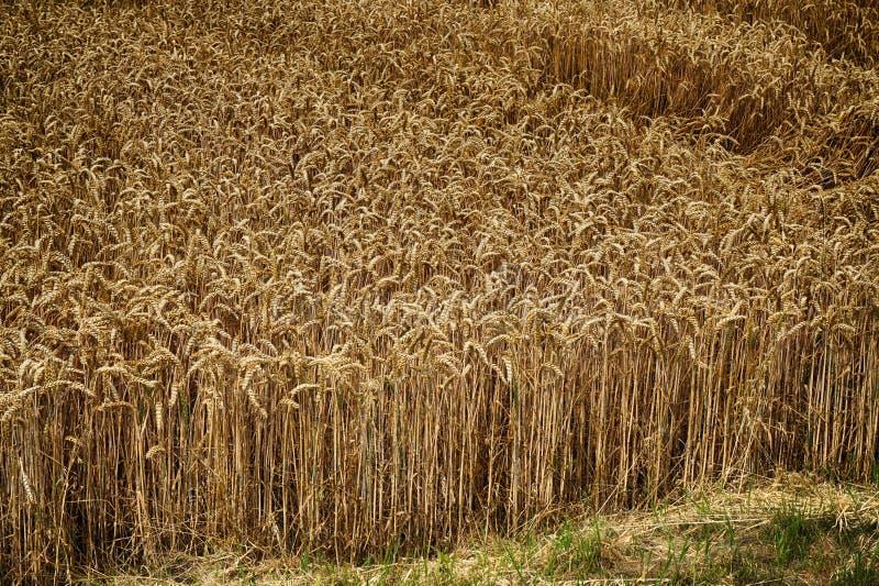 Campo de maíz de oro fotos de archivo libres de regalías