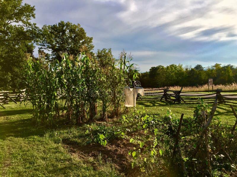 Campo de maíz de protección del cuervo del susto imagenes de archivo