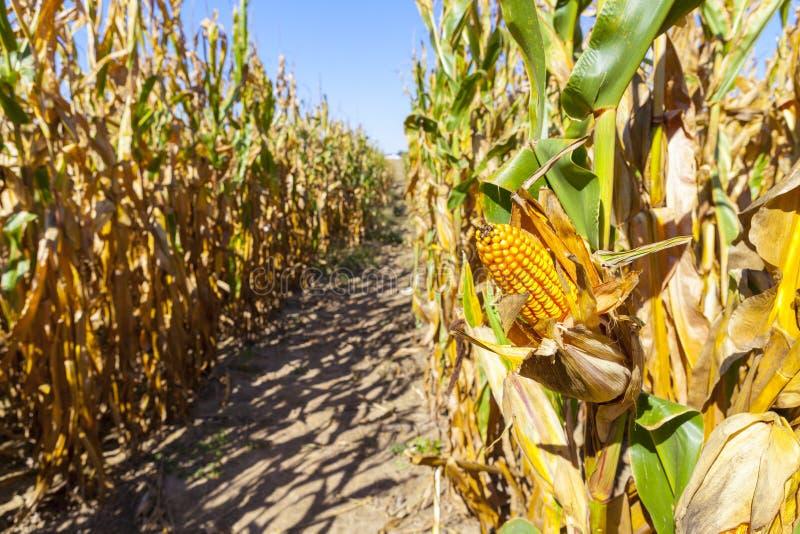 Campo de maíz (remiendo) foto de archivo libre de regalías