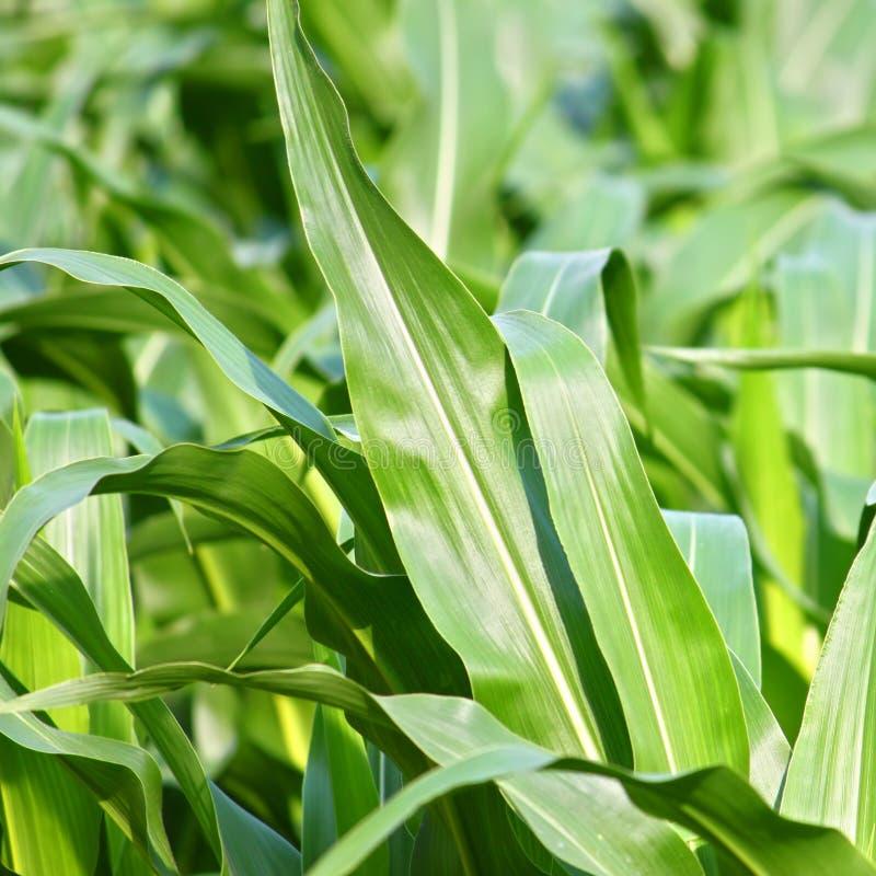Campo de maíz septentrional de Illinois imagenes de archivo