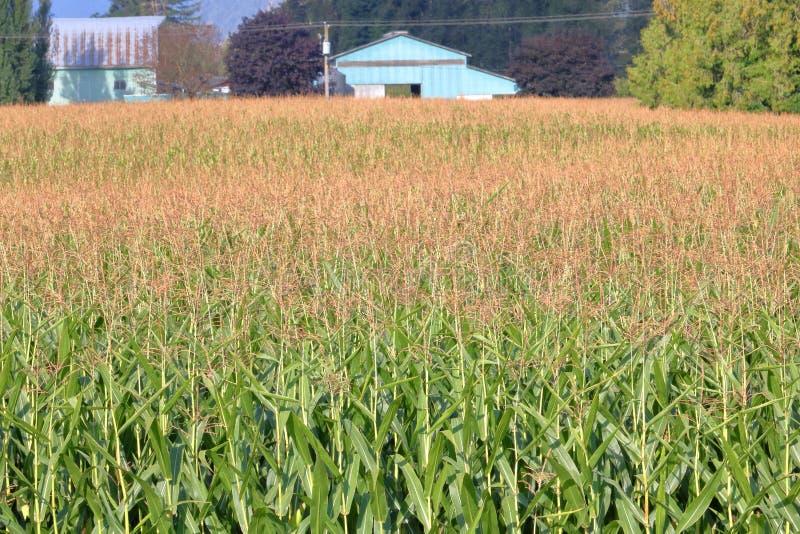 Campo de maíz de septiembre foto de archivo libre de regalías