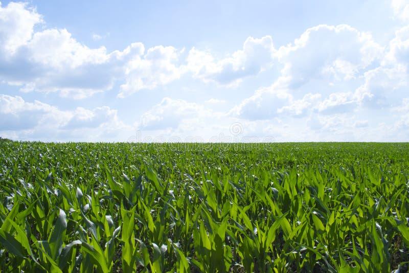 Campo de maíz verde foto de archivo