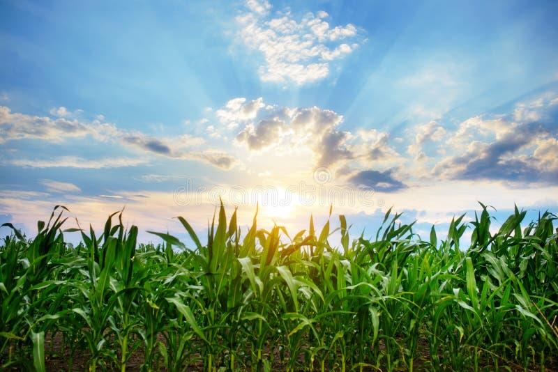 Campo de maíz verde, cielo azul y sol el día de verano imágenes de archivo libres de regalías