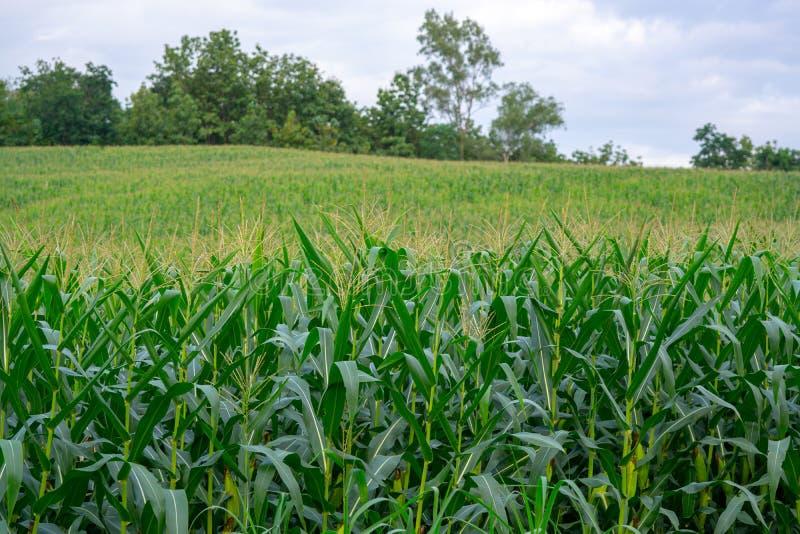 Campo de maíz verde en jardín agrícola imagen de archivo libre de regalías