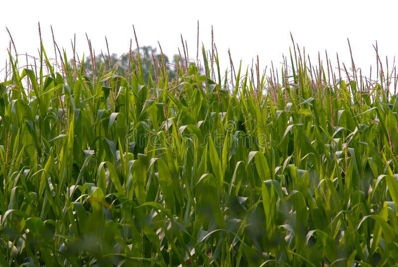 Campo de maíz verde en un día de verano imagenes de archivo
