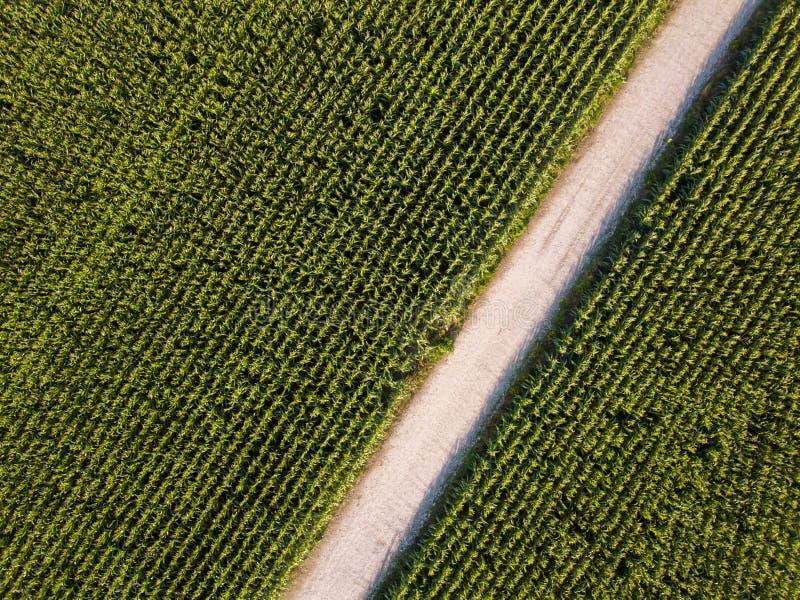 Campo de maíz verde listo para cosechar imágenes de archivo libres de regalías