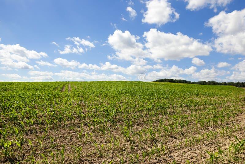 Campo de maíz verde sobre el cielo azul imagen de archivo libre de regalías
