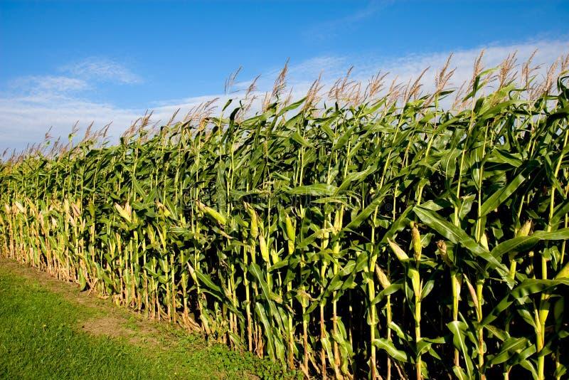 Campo de maíz y cielo fotografía de archivo