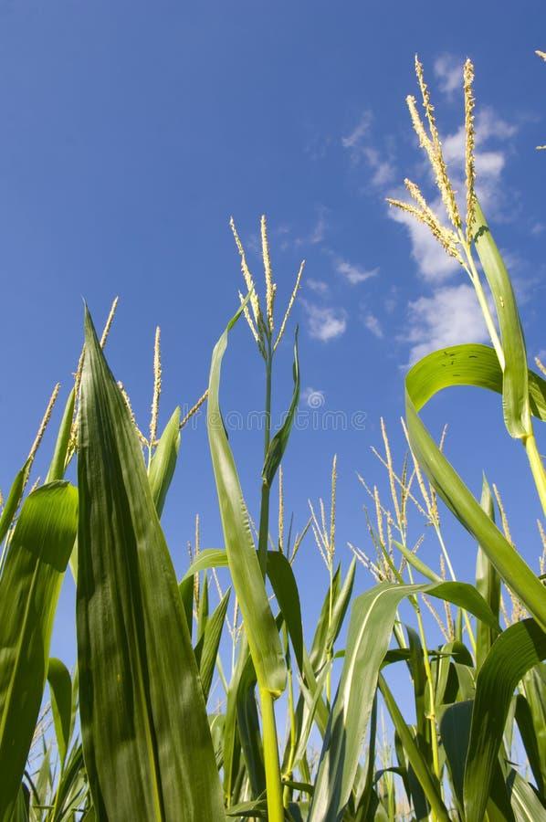 Campo de maíz y cielo azul fotografía de archivo libre de regalías