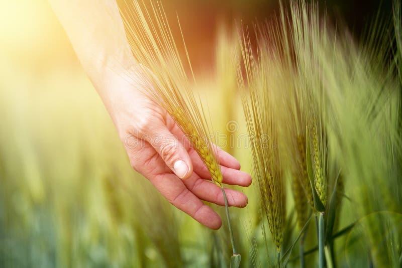 Campo de ma?z en primavera: La mano del granjero est? tocando los o?dos verdes del trigo sol imagen de archivo libre de regalías