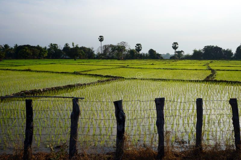 Campo de madera de la cerca y del arroz foto de archivo libre de regalías